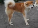 上海 純種秋田幼犬 疫苗齊全出售中 可簽協議健康保障