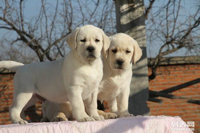 专业繁殖 犬舍直销拉拉世界名犬 品质保障 签订购买合同