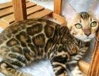精品幼猫成猫玫瑰纹都是高品质