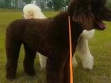 佛山巨型贵宾犬怎么卖的 佛山白色巨贵照片 灰色巨贵