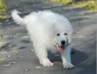 大白熊幼犬哪里有卖 大白熊成年多大 白熊好养吗