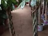 苏州里购买便宜绿植-步步高发财树-养殖基地销售配送到门