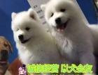 萨摩耶雪橇犬 纯种健康 签署联盟购犬合同健康
