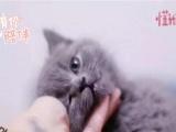 猫舍蓝猫美短加白出售 已做疫苗驱虫保健康