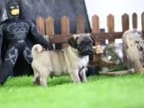 湛江哪里有宠物狗卖 可爱巴哥幼犬宝宝出售囧字脸