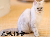 纯种金吉拉,猫舍繁殖,健康纯种,品质保障
