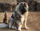冠军后代纯种健康高加索幼犬 纯种高加索幼犬大头版大骨架毛量多
