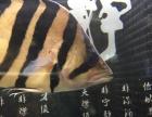 出两只印尼虎鱼