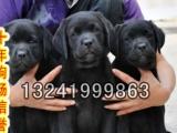 拉布拉多犬带血统出售中 终身质保 质量三包 可签协议