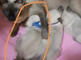 北京顺义后沙峪自提,暹罗猫,小奶猫2个月