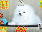 纯种哈多利版最小球体博美幼犬活体出售 宠物狗狗
