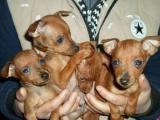 秭归酷狗宠物犬会所出售袖珍体小鹿犬,包纯种健康