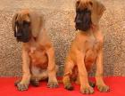大丹犬可以长多大 大概多少钱