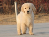 适合家庭饲养金毛犬多少钱 要纯一点的