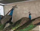 附近哪里有养孔雀的养殖场
