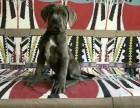 哪里有买纯种卡斯罗犬的,三个月的卡斯罗多少钱一只,包成活