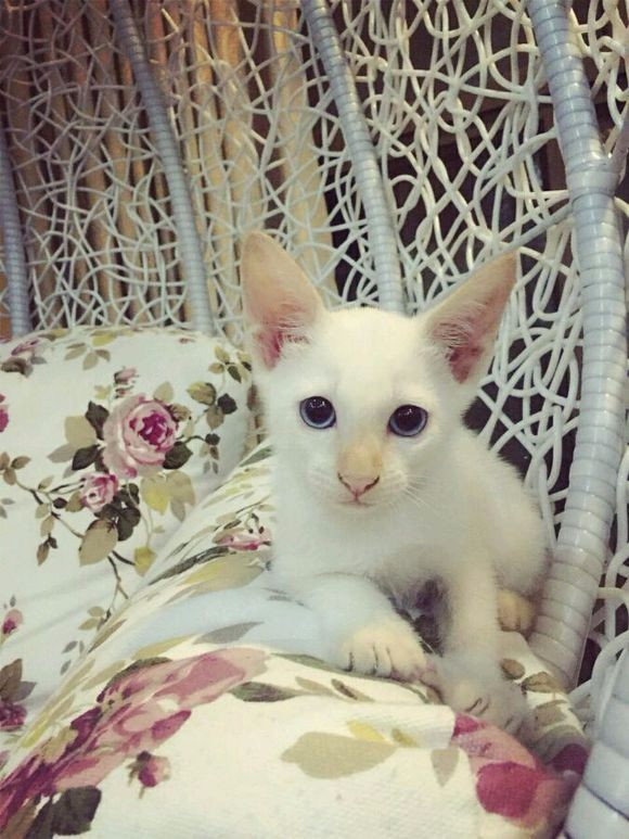 给暹罗弟弟妹妹预定中 保健康纯种 图片都是现有的猫咪