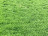 广东广州四季青草坪种子 护坡固土多年生草种