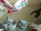 【芳姐芳苑】纯种蓝猫【出售】【种公借配】【回购】
