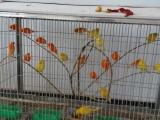 出售雏鸟玉鸟/黄玉/红玉