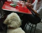 纯种赛级金毛种公对外配种公狗长大头长毛黄金猎犬寻回犬世界名犬