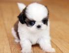 纯种西施犬出售 包纯种包健康可上门签协议