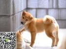 定西犬舍长期出售纯种柴犬和各类世界名犬 可陪伴小孩老人包纯