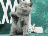 江苏扬州双血统澳血蓝猫出售