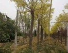 大同10公分樱花树基地自产自销