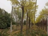 鹤壁10公分白蜡树批发