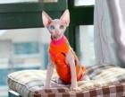 白皮鸳鸯眼妹妹四个月 加拿大无毛猫 斯芬克斯猫