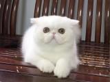 江西南昌纯血净梵加菲猫哪里卖