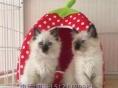 猫舍出售纯种 加菲 金吉拉 美短 暹罗 品种齐全