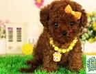 贵宾幼犬,贵宾多少钱一只
