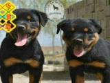 精品罗威纳犬、高端赛级大毛量、双血、包活、带证