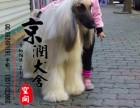 南昌哪里有卖纯种阿富汗犬的