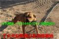 卡斯罗犬 比特犬 比利时马犬 狼青犬 罗威纳犬 杜高犬