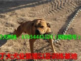 新疆什么地方卖纯种比特犬,比特犬养殖场,比特犬多少钱一只