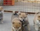 专业赛犬纯种柴犬后代转让 配种 均有血统书 3针