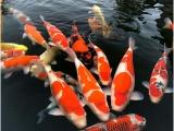 杭州锦鲤鱼 冷水鱼 观赏鱼批发
