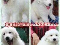 上海最大狗场 萨摩等三十个品种热卖中 保健康送用品
