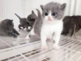 天津哪里有英短猫卖 专业繁殖 公母均有 包纯种包健康