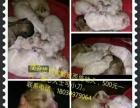 急出自家繁殖的西施幼犬(公母均有)
