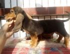 大型犬舍繁殖高品质巴吉度健康有保证欢迎上门
