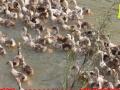 老企业政府扶持 优质鸡鸭鹅种苗 低价批发 包技术销