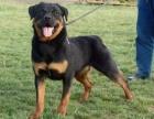 重庆罗威纳犬多少钱 重庆哪里出售罗威纳犬