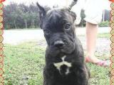 卡斯罗幼犬欢迎加微信看视频提供免卡斯罗幼犬欢迎加微