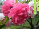 观赏桃花树苗红花碧桃品种