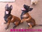 马犬 德牧 卡斯罗 拉布拉多等名贵犬种培育基地