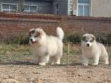 宁波卖纯种阿拉斯加犬 宁波阿拉斯加犬舍 灰色阿拉斯加出售